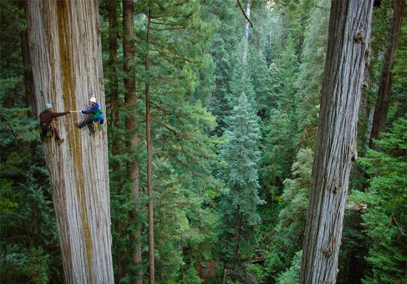 Crazy Tree Climbing at Redwood Forest