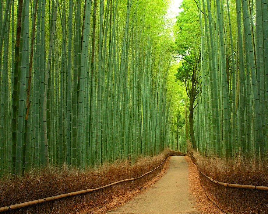 Arashiyama Bamboo Forest located in Kyoto