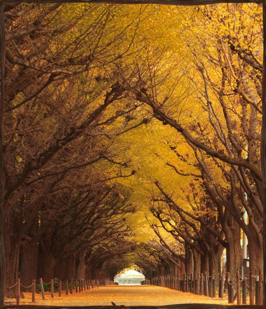 Spectacular Ginkgo Tree Tunnel located in Tokyo