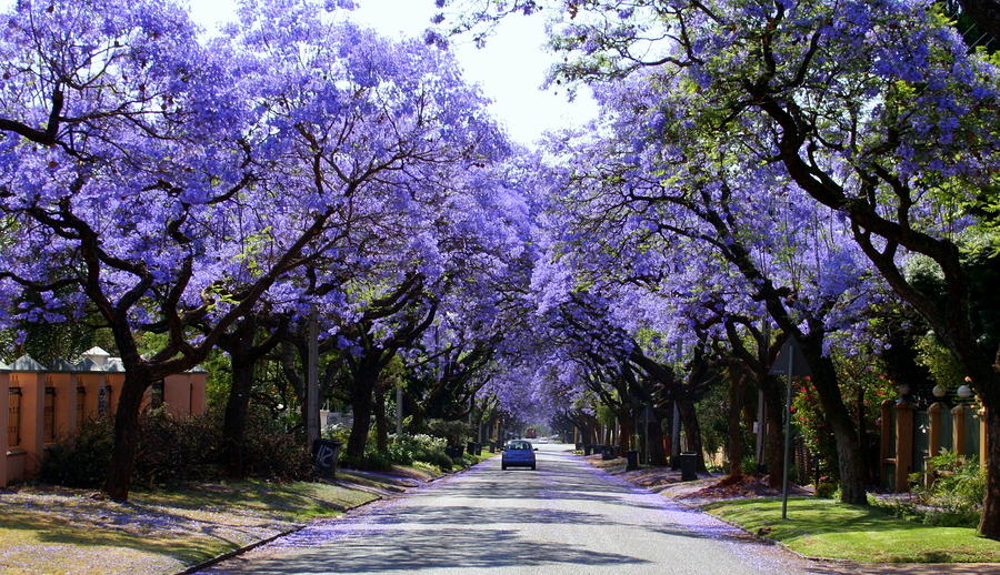 Jacarandas Walk, the flowering plants in South Africa