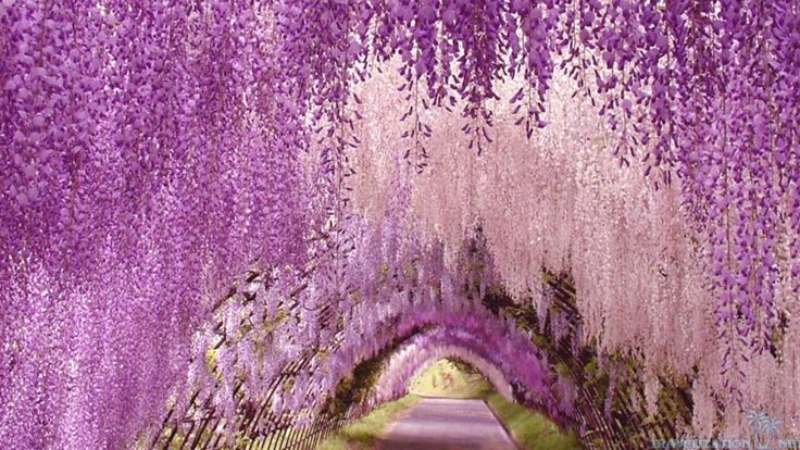 Wisteria Tunnel, Tochigi, Japan.