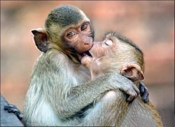 two monkeys kissing each other, mating time for animals