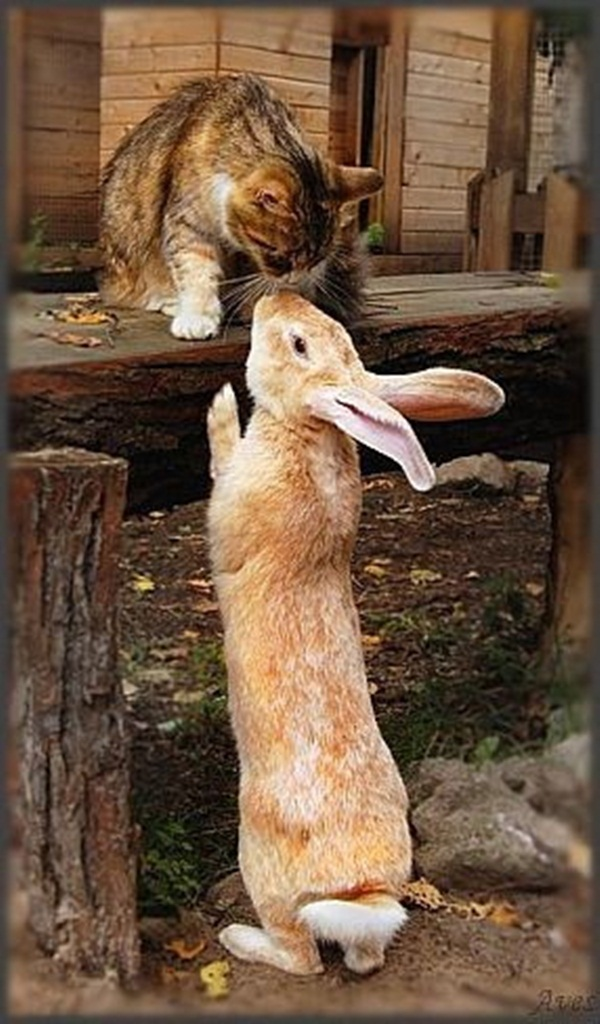 Rabbit and cat kissing each other