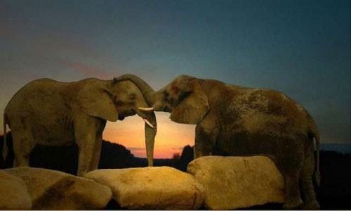 Elephant kissing each other