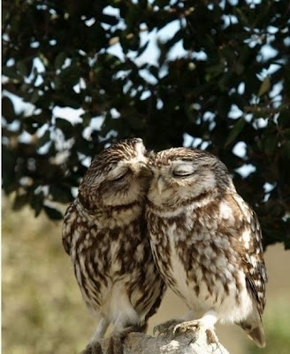Owls kissing each other