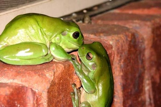 Two frogs kissing each other