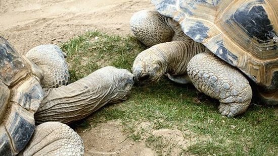 Turtles kissing each other