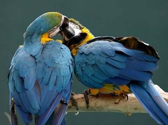 Birds kissing each other, birds ready to mate