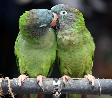 Parrots ready to mate, parrots kissing each other, birds kissing each other