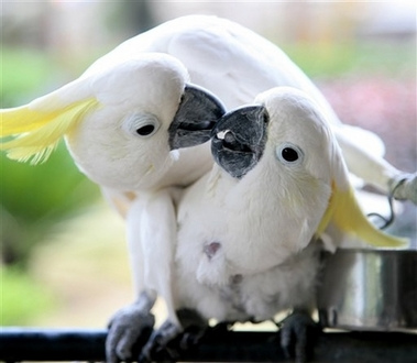 White parrots smooching and kissing each other