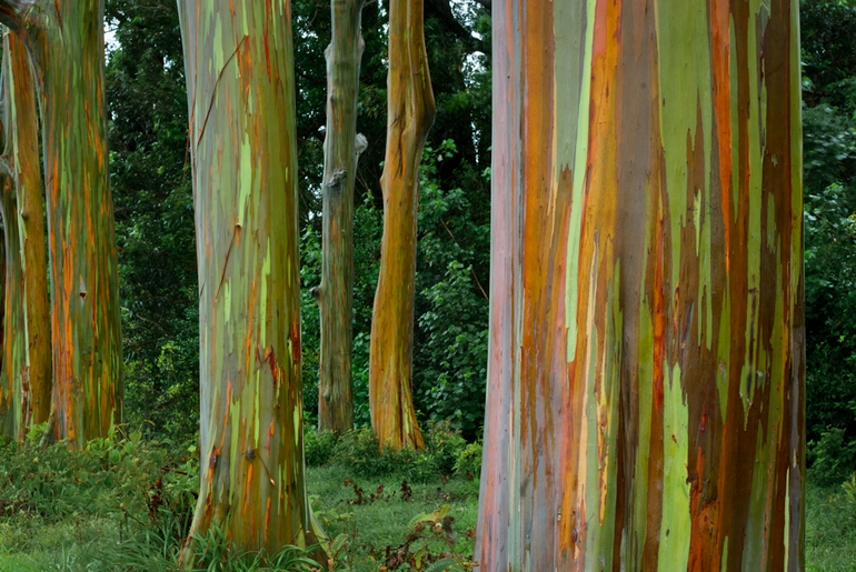 Crazy Places you won't believe exist - rainbow Eucalyptus Hawaii