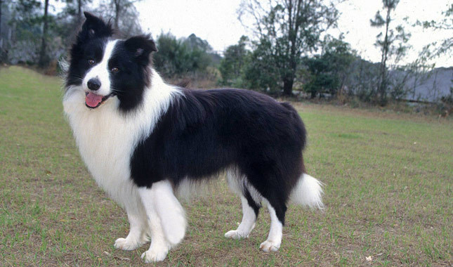 Smartest Dogs - BORDER COLLIE