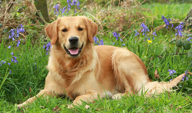 Smartest Dogs - GOLDEN RETRIEVER