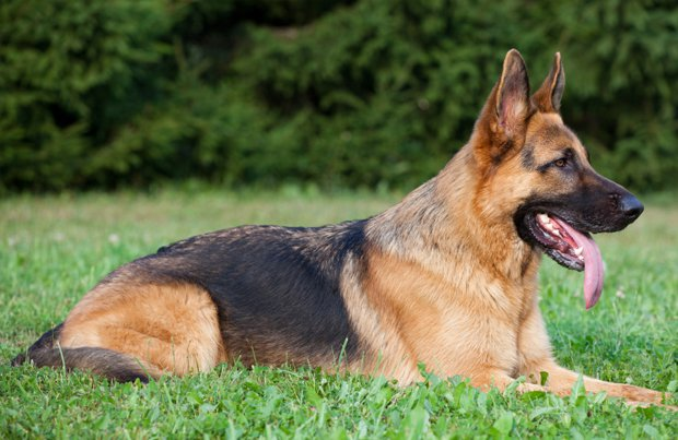 Smartest Dogs - German Shepherd