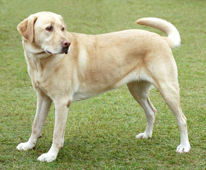 Smartest Dogs - LABRADOR RETRIEVER