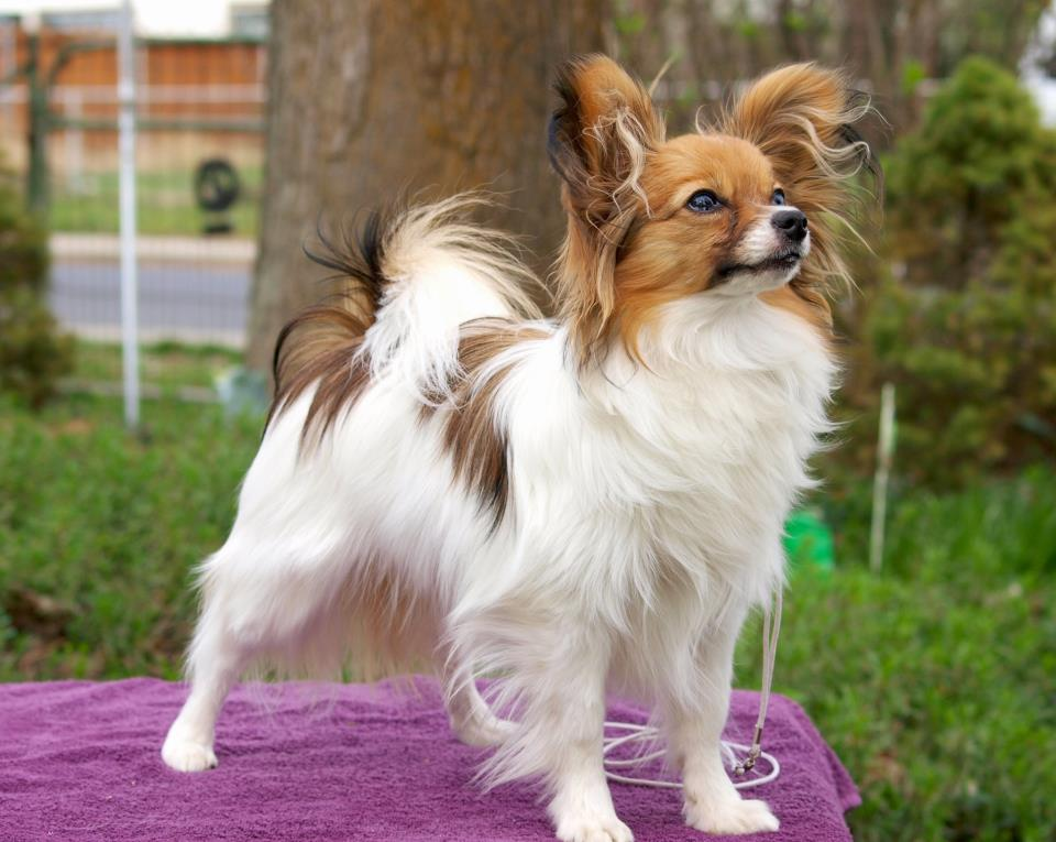 Smartest Dogs - PAPILLON