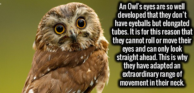 Owl, Owl facts