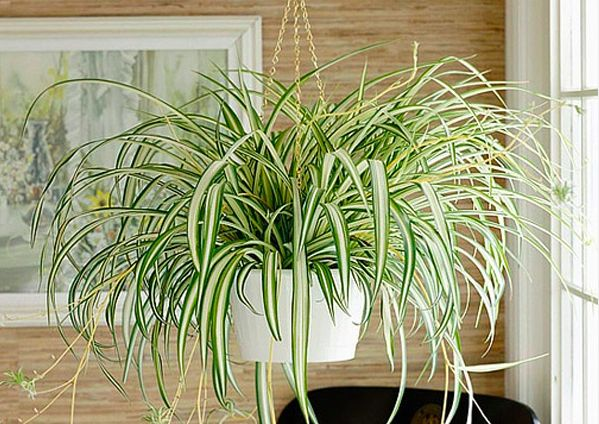 Gift Ideas for this holiday - Spider-Plant
