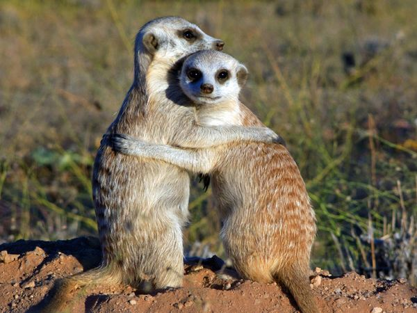 Happiest animals - meerkats
