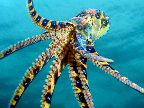 Most Dangerous Animals - Blue Ringed Octopus