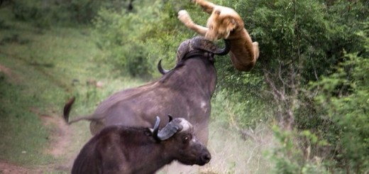 Most Dangerous Animals - Cape Buffalo
