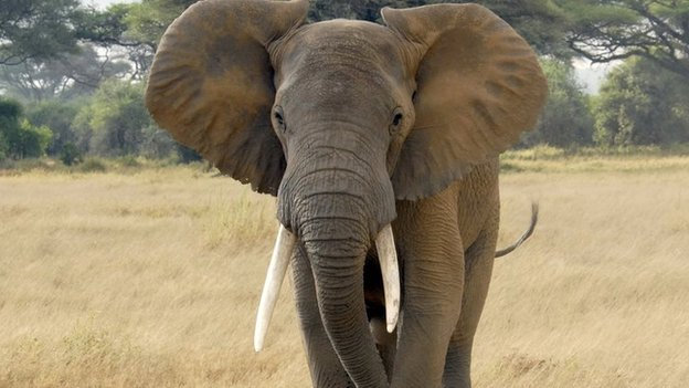 Most Dangerous Animals - Elephant