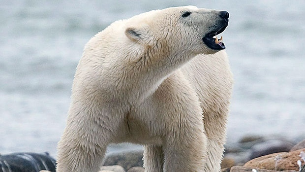 Most Dangerous Animals - Polar Bear