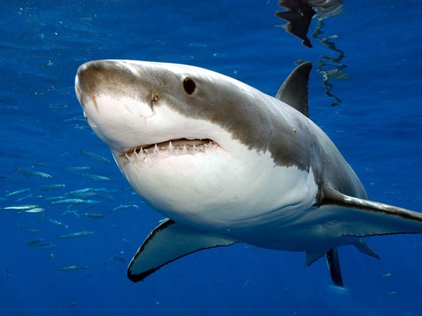 Most Dangerous Animals - White Shark