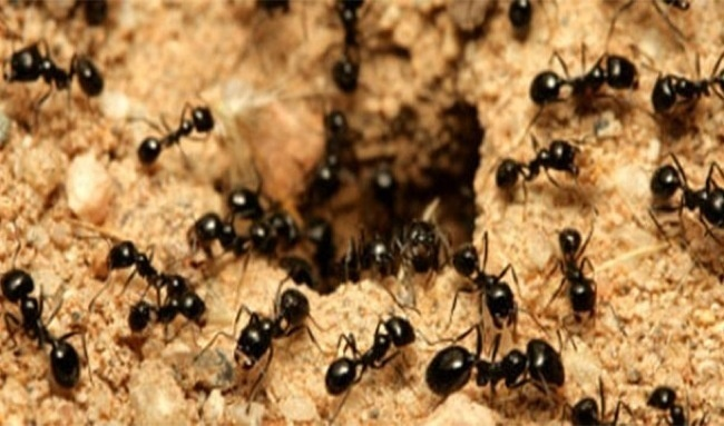 On Earth, for every human being, 1.6 million ants exist