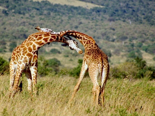 Unanswered Questions - Why Do Giraffes Have Long Necks
