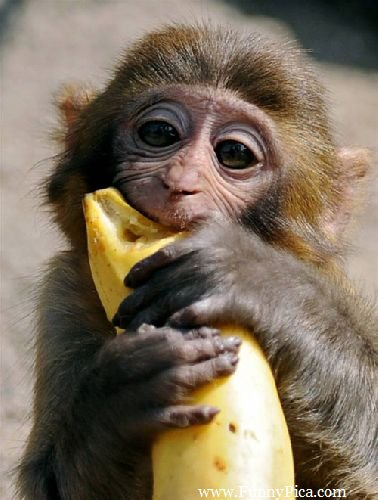 Funny monkey pictures, funny animals, animals, cute and adorable animals, Monkey having banana