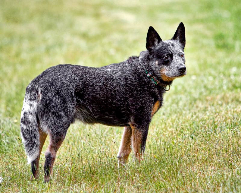 Most intelligent Dog breed - Australian Cattle Dog
