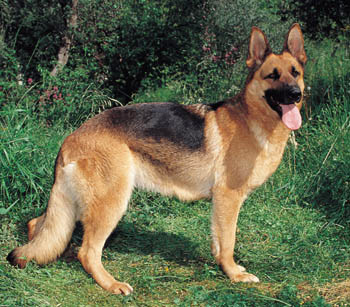 Most intelligent Dog breed - German-Shepherd