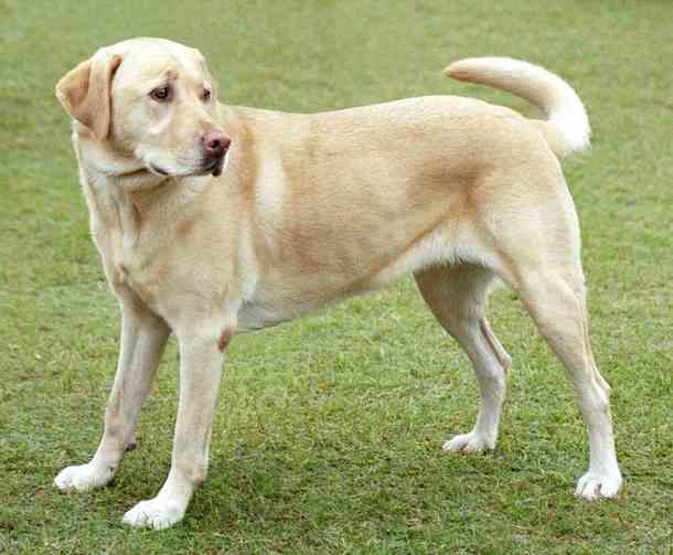 Most intelligent Dog breed - Labrador-Retriever