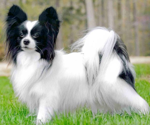 Most intelligent Dog breed - Papillon1