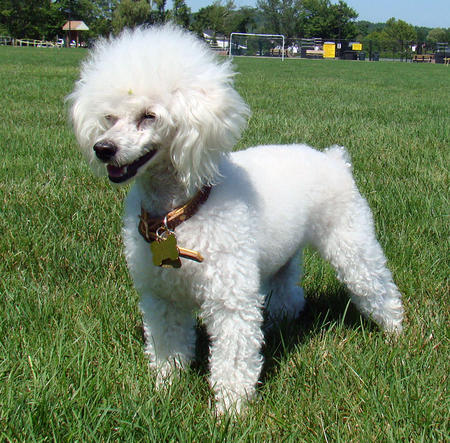 Most intelligent Dog breed - Poodle
