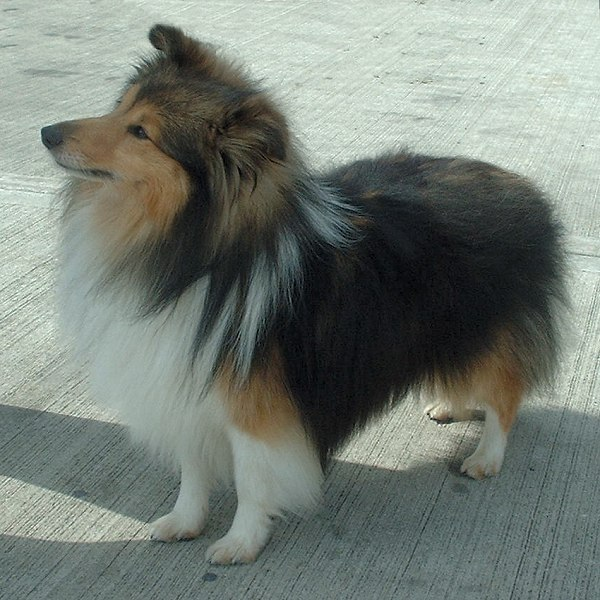 Most intelligent Dog breed - Shetland-Sheepdog