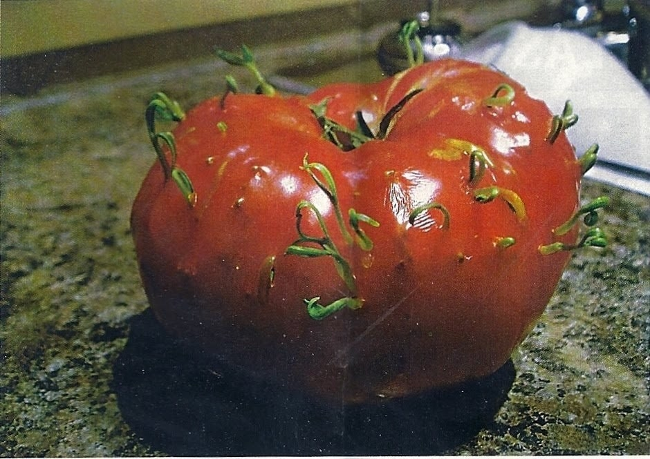 Funny fruits - Ingrown Tomato