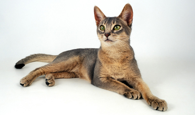 Top Cat Breeds - Abyssinian
