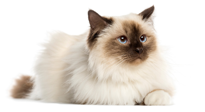 Top Cat Breeds - Birman