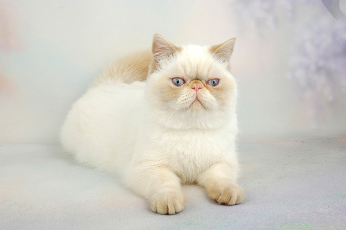 Top Cat Breeds - Exotic Shorthair