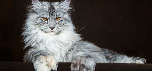 Top Cat Breeds - Maine Coon