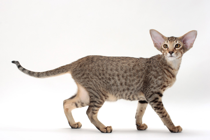 Top Cat Breeds - Oriental