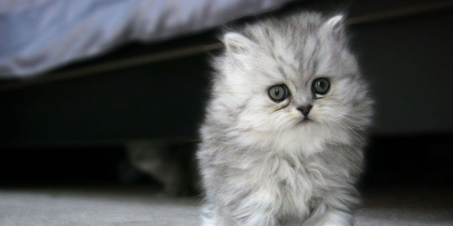 Top Cat Breeds - Persian