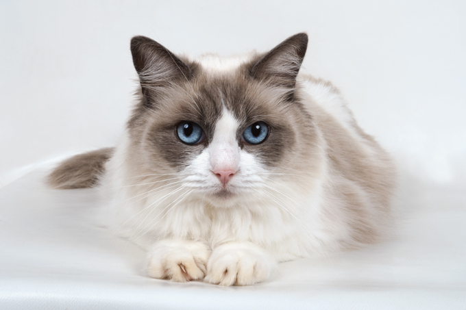 Top Cat Breeds - Ragdoll
