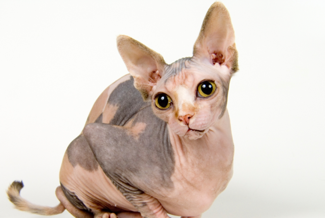 Top Cat Breeds - Sphynx